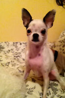 3yr Old Male Chihuahua Looking For New Home
