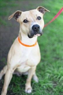 Sterling - 1 yr old - Male - Staffordshire Bull Terrier X Coombabah Gold Coast North Preview