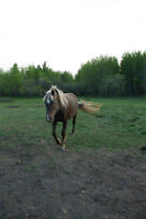 Silver Black Tennessee Walking Horse Mare