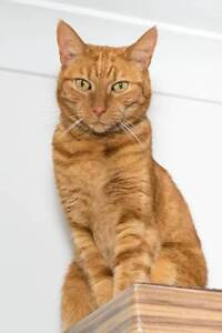 AC0416: Missy - CAT for ADOPTION - Vet work included Palmyra Melville Area Preview