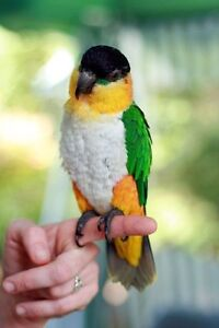 baby black head Caique parrot handfed very friendly for sale