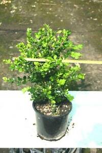 Buxus Japonica - 200mm Austral Liverpool Area Preview