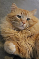 Gorgeous long haired orange male up for adoption!