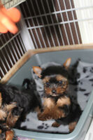 Quality Yorkies puppy  Chiots yorkshire de qualité