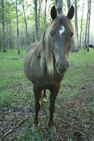Smoky Silver Tennessee Walking Horse Mare