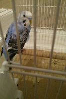 missing blue and white budgie