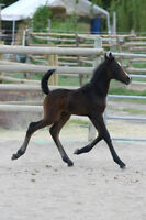 Beautiful 2015 Arab/Friesian Sweepstakes Filly