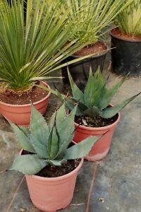 R sistant au froid agave havardiana 35 40cm ebay - Manguier resistant au froid ...