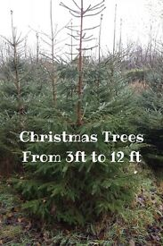 Real Christmas Trees Newry (Nordmann Fir) From £10