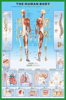 The Human Body POSTER 61x91cm NEW anatomy chart organ skeleton spine parts name