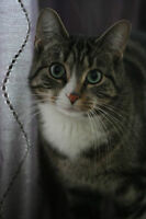 RESCUE DSH TABBY FOR ADOPTION! WHARF RESCUE!