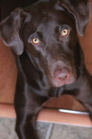 Pure Bred-Female Chocolate Lab needs a good home