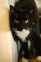 RESCUE BLACK AND WHITE DSH FOR ADOPTION! WHARF RESCUE!
