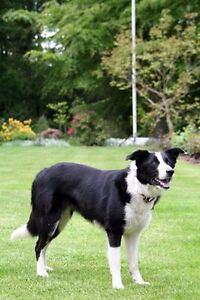 Looking for a adult border collie