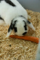 Holland Lop Bunnies and Cage