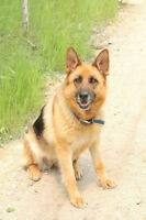 German Shepherd Female---- To Good Home Only!!!
