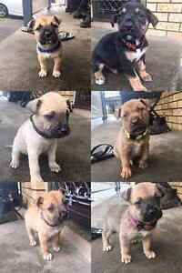 Bull Mastiff X Ridgeback X Husky Stroud Great Lakes Area Preview