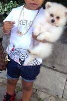 PUPPIES FOR SALE ! TOY POMERIAN/ MALTESE