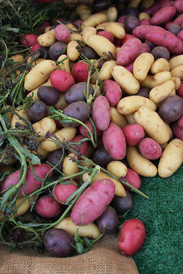 (RED, WHITE, & BLUE Seed Potato Collection - 3 lb. Assortment - Organic Non GMO )