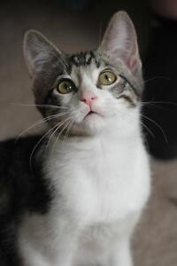 """Young Male Cat - Domestic Short Hair: """"Percy"""" Strathcona County Edmonton Area image 2"""