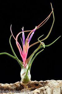 Tillandsia bulbosa Live air plant bioactive natural vivarium terrarium wood