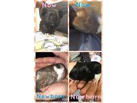 Guinea pig babies & mom