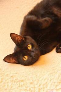 "Young Female Cat - Domestic Short Hair-black: ""Breanna"" Strathcona County Edmonton Area image 3"
