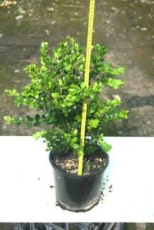 Buxus Japonica - 200mm pots - hedge plant Austral Liverpool Area Preview