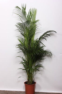 Chrysalidocarpus lutescens 130-150 cm Goldfruchtpalme Arecapalme Zimmerpflanze
