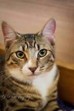 AK1079: Titan - CAT for ADOPTION - Vet work included Ocean Reef Joondalup Area Preview