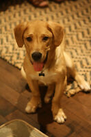 Labrador Retreiver Mix 1-year old for sale