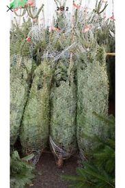 Nordman fir Christmas trees non drop.