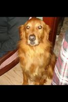 "Lost Golden Retriever ""Gray"" in Murray Corner NB"