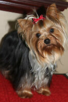 Beautiful Yorkie puppy (Superbe chiot Yorkshire)