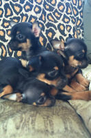 Only 2 Chihuahua puppies left (Price Reduced and Firm)
