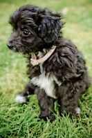 Smokey/Silver Toy/Mini Aussiedoodle (PRICE REDUCED $1250)