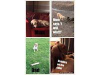 ****Labrador Puppies For Sale****