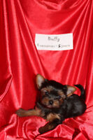 Quality yorkshire puppy*Chiot yorkshire de qualité  SOLD THANKS