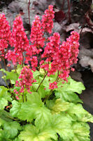 Red Coral Bells