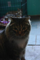 RESCUE MAINE COON FOR ADOPTION! WHARF RESCUE