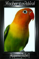 Looking For A Male Fischer Lovebird.