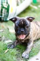 STUNNING FRENCH BULLDOG/BUG PUPPIES!! AVAILABLE NOW!!!