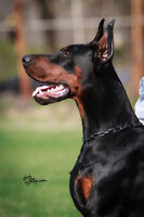 EUROPEAN DOBERMAN LITTER