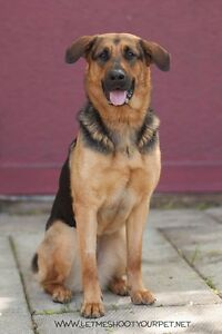 "Adult Female Dog - German Shepherd Dog-Rottweiler: ""Flame"" Cambridge Kitchener Area image 1"