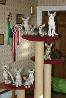 BEAUTIFUL SIAMESE ORIENTAL SHORTHAIR KITTENS