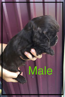 Cocker Spaniel puppy for Sale