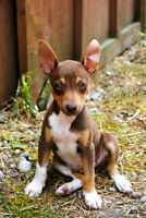 Purebred Rat Terrier Pups from AKC Reg. Mum and Dad