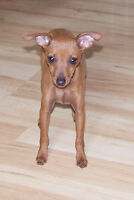 Miniature Pinscher Female FOR SALE