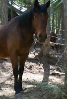 WB gelding for sale