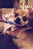 """""""Pepe"""" - A Lovable & Friendly Male Chihuahua for Adoption"""